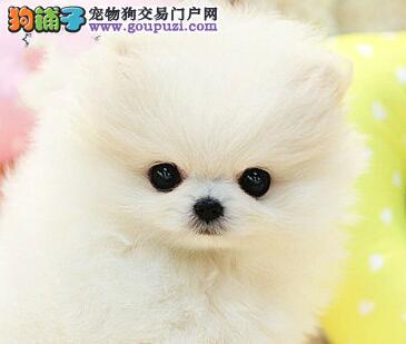 武汉专业犬舍出售球形博美犬保证健康签售后协议