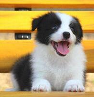 武汉犬舍直销聪明伶俐的边境牧羊犬 请您放心选购
