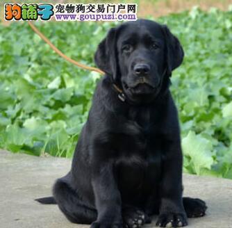 国际注册犬舍 出售极品赛级拉布拉多幼犬同城免费送货上门