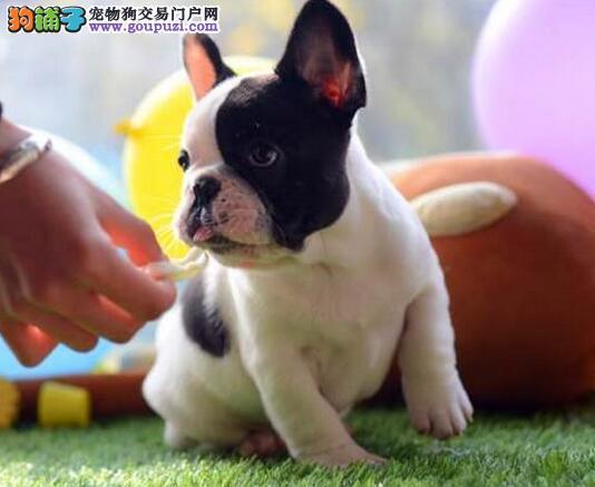 多种颜色的赛级法国斗牛犬幼犬寻找主人诚信经营三包终身协议