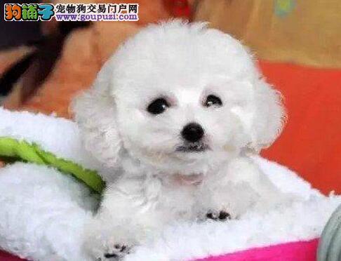 贵宾犬宝宝热销中 金牌店铺品质第一 购犬可签协议