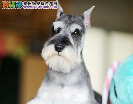 自家繁育好品质桂林雪纳瑞颜色齐全可见狗狗父母