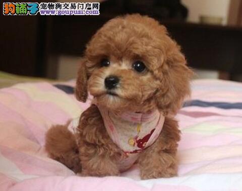 CKU认证犬舍出售高品质泰迪犬可包邮