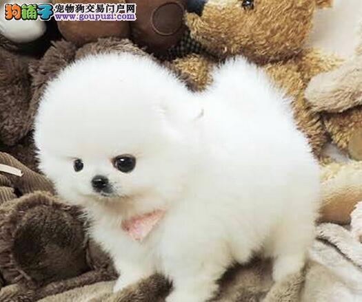 出售多种颜色广东纯种博美犬幼犬终身质保终身护养指导