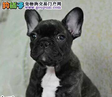 法国斗牛犬幼崽出售中,CKU品质绝对保证,购买保障售后