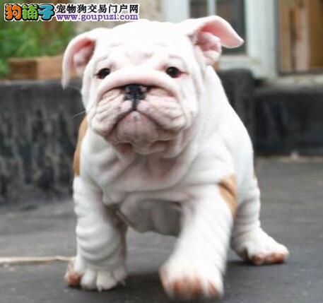 温州狗场出售CKU血统认证的斗牛犬 不健康包退换