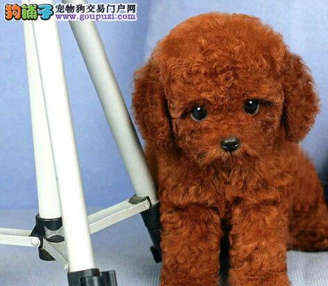 出售深红色超小体的杭州泰迪犬 建议大家上门参观选购
