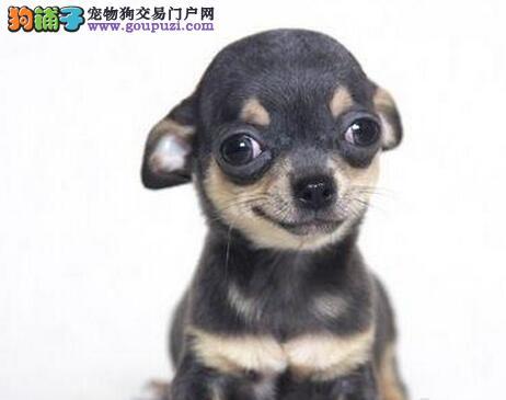 天津知名犬舍出售多只赛级吉娃娃狗贩子请绕行