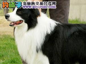 狗舍热销长沙纯种健康边境牧羊犬 疫苗做齐质保协议