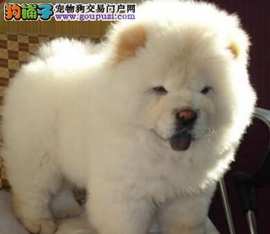 特价出售肉嘴紫舌杭州松狮犬 保证健康疫苗驱虫做完