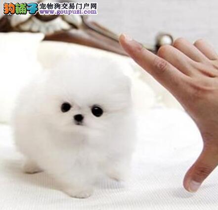 杭州正规犬舍出售博美犬 体型小品质保证送狗粮