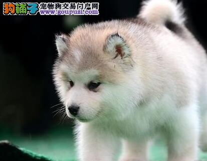 出售哈士奇幼犬品质好有保障最优秀的售后
