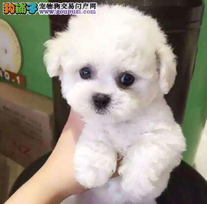 出售纯种健康杭州泰迪犬 品质优秀血缘清楚有防疫证明