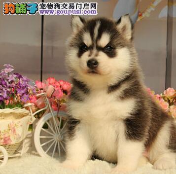 贵阳本地犬舍出售优秀哈士奇 所有犬只均保证纯正健康
