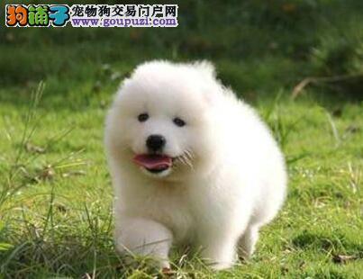 低价转让优秀萨摩耶 苏州犬舍专业繁殖出售有问题可退