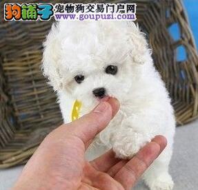 非诚勿扰 顶尖犬舍热销南京泰迪犬品质优秀血统纯正