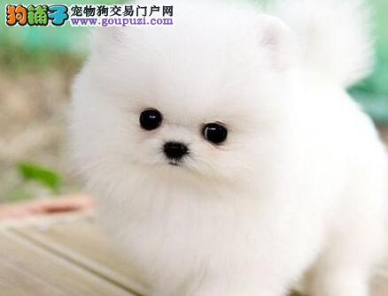 纯种杭州博美犬找爸爸妈妈 建议朋友们上门选购爱犬