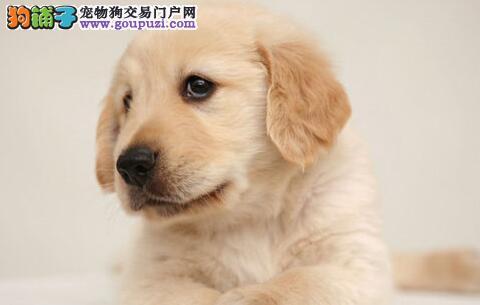 南昌正规犬舍出售金灿灿的金毛犬 保障完美的售后