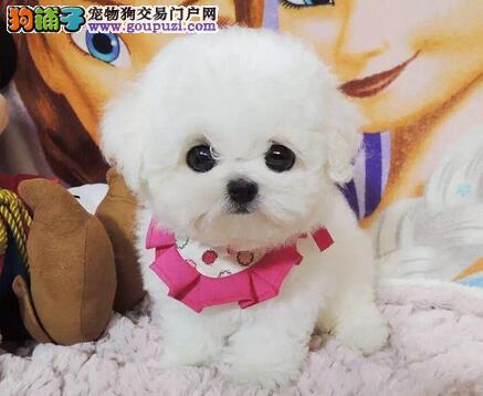 天津实体店热卖比熊颜色齐全签订合法售后协议
