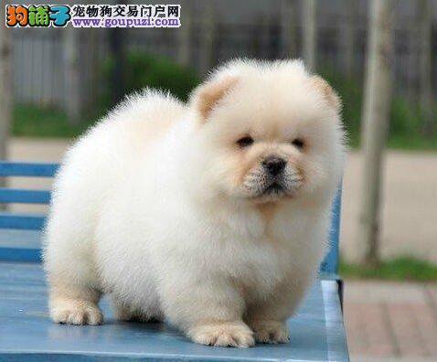 出售极品松狮幼犬完美品相签署质保合同