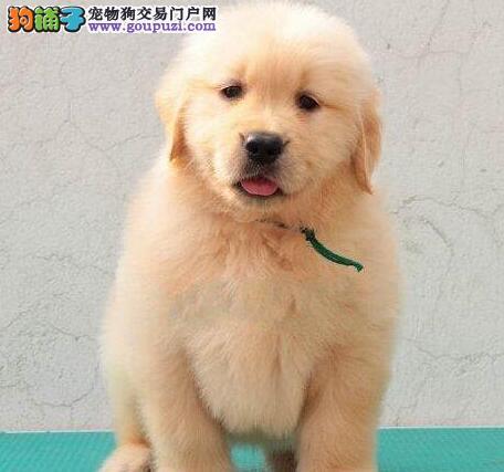 出售毛量丰厚骨骼粗壮的淄博金毛犬 接受提前预定