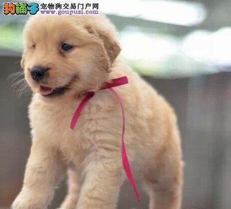 纯种黄金大头金毛温州犬场直销 可签协议书保证健康