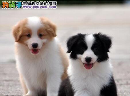纯种边境牧羊犬幼犬天津出售 七白到位 智商高服从性强