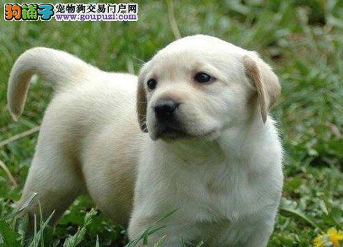 出售自家繁殖的泉州拉布拉多犬 我们承诺终身免费售后