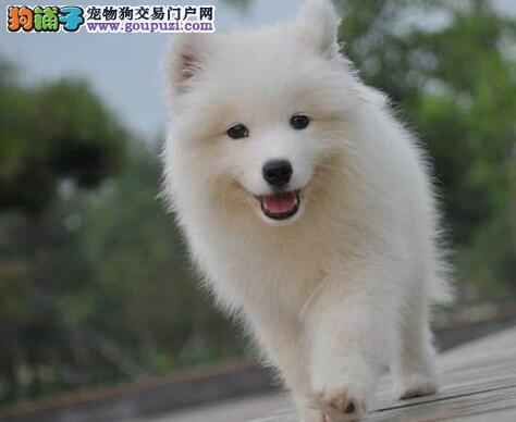 三亚澳版微笑天使宝宝纯种健康赛级萨摩耶幼犬出售