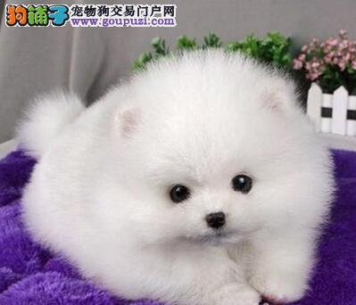 狗场直销纯种南京博美幼犬 做好疫苗保证纯种健康