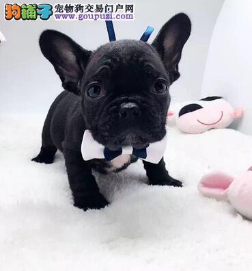 法国斗牛犬成都最大的正规犬舍完美售后品质保障可全国送货