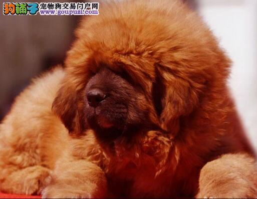 出售纯种南京藏獒宝宝 血统证健康证疫苗证书齐
