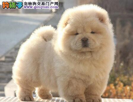 杭州知名犬舍出售松狮幼犬 血统纯正身体健康品相好