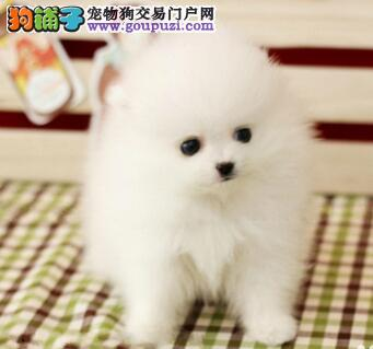 纯种博美犬出售、专业繁殖宝宝健康、签订正规合同