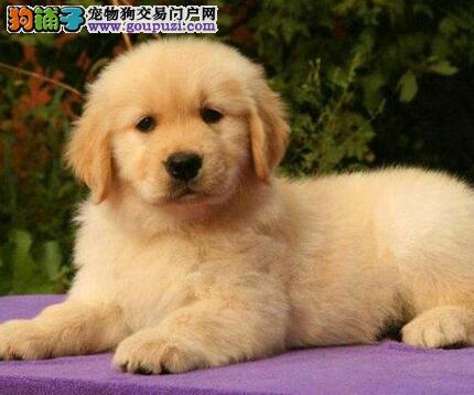 南京正规养殖场出售金毛宝宝 保证健康签合同送用品