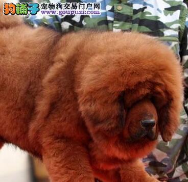 上海藏獒精品狮头藏獒幼犬,吊嘴毛色正、骨量足