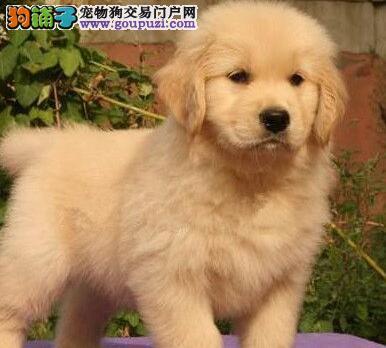 专业狗场转让纯种金毛犬毛色亮丽湖州地区可免费送货