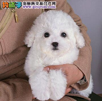 自家血统正宗 品相极佳泰迪幼犬西城出售 最优质的售后