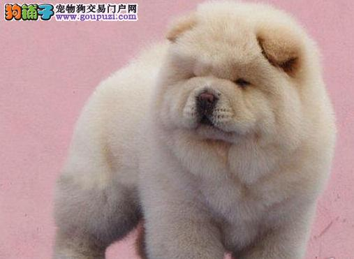 直销大嘴紫舌吐鲁番松狮犬 公母都有可上门看狗价格优惠