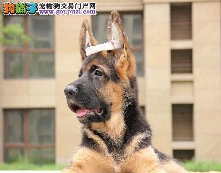 出售纯种德国牧羊犬,血统纯正警犬护院好帮手