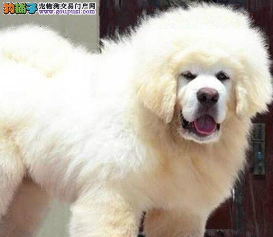 纯种藏獒犬出售 可当面检测血统证明