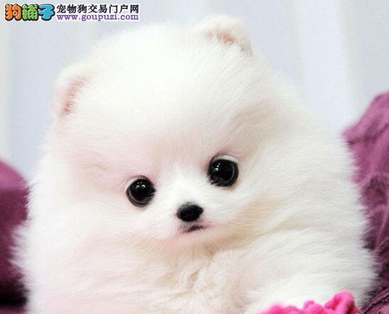 包头狗场出售超小体笑脸品相的博美犬 健康品质保障