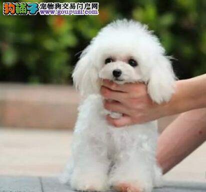 柳州犬舍低价出售泰迪犬 终身保障纯种健康