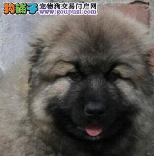 低价格出售巨型大骨架桂林高加索犬 看见护院的好选择