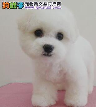 出售多种颜色纯种比熊幼犬可直接微信视频挑选