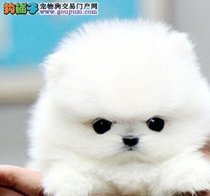 赛级博美犬幼犬,专业繁殖血统纯正,质保健康90天