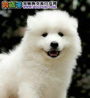 嘉兴正规基地热销萨摩耶犬天使微笑颜色雪白