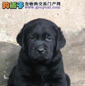 嘉兴可爱大气高智商的拉布拉多犬转让保纯保健康