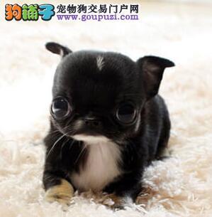 吉娃娃幼犬出售中、纯度第一价位最低、诚信经营保障