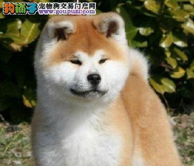 转让纯种日系成都秋田犬 品种纯正血统优秀欢迎购买